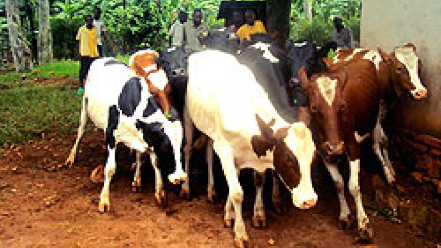 Farmers lead cows  for LSD vaccination in Rwamagana. Over 45,000 animals will be vaccinated. The New Times / S. Rwembeho.