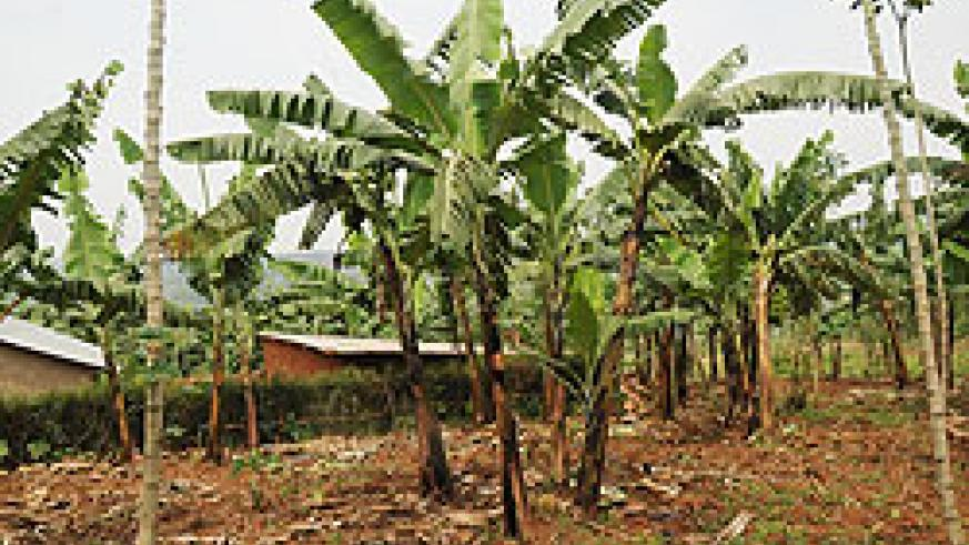 A banana plantation in rural Rwanda. Regional agronomists are demanding for additional  training. The New Times / file.