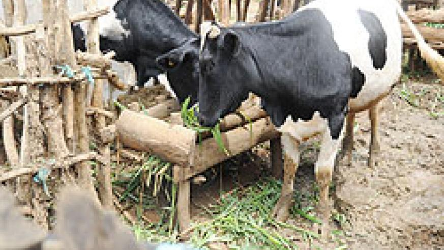 PLWAs in Karangazi Sector received high-breed cows from the Anglican Church. The New Times File.