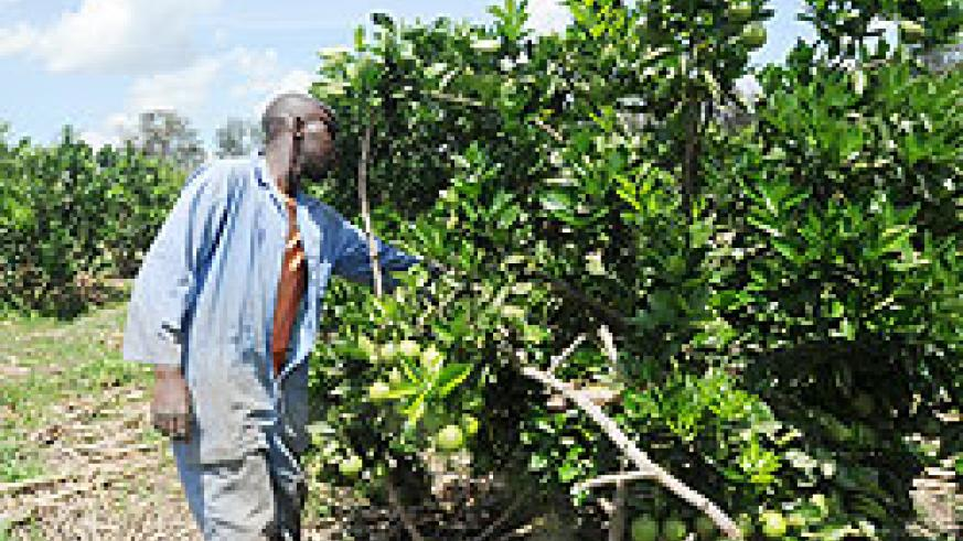A farmer tends to his orange farm; Government will put up a park house to reduce post harvest loses. The New Times / File.