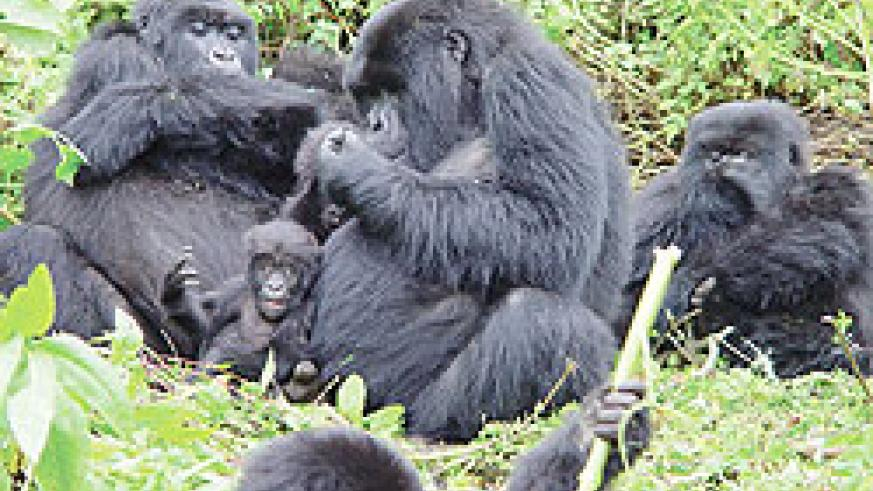 The gorillas are well protected. The New Times / File