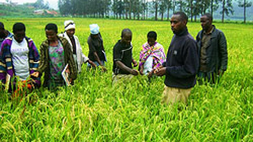 Rice farmers in Rwamagana District. The New Times / File.