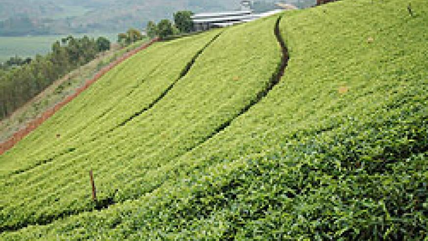 A tea plantation. The industry has of late been one of the top investment attractions The New Times / File