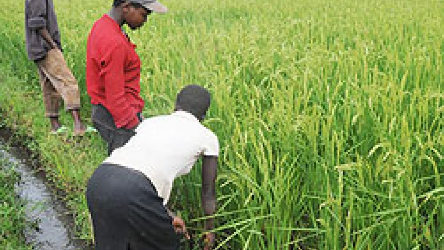 A rice field. The govt aims to make Rwanda a rice-exporting nation within 7 years. The New Times / File.