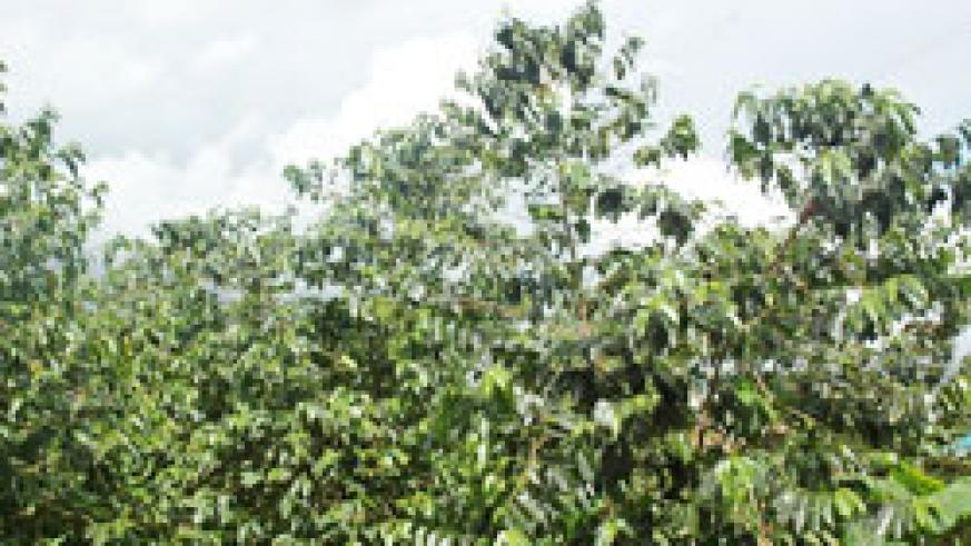 Experts will soon meet to discuss a new pest affecting coffee trees in the country. The New Times / File