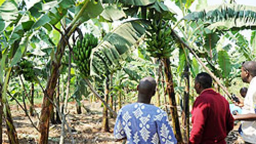 Growing priority crops will help boost food security, the government has said. The NewTimes File.
