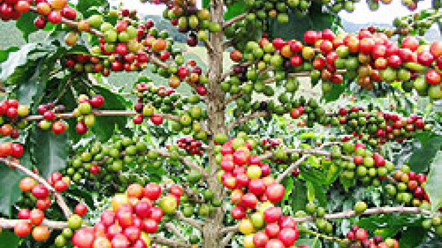 Coffee is one of Rwanda's main exports . The New Times / File