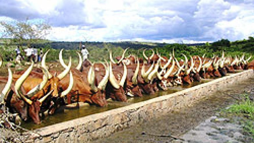 Cattle at a water point in Nyagatare District. The New Times/File.