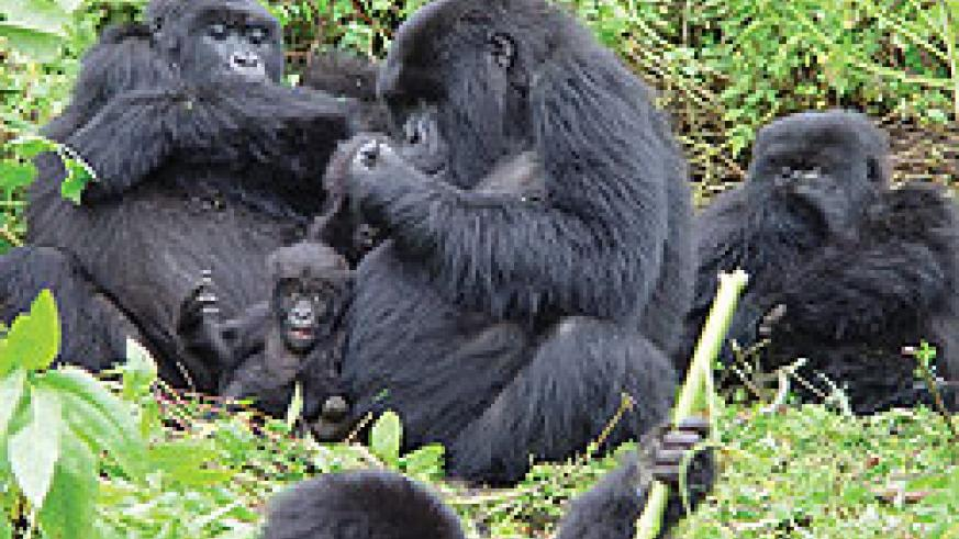 A Gorilla family in the Virunga National Park. The permit fees to trek the gorillas have been hiked. The New Times / File