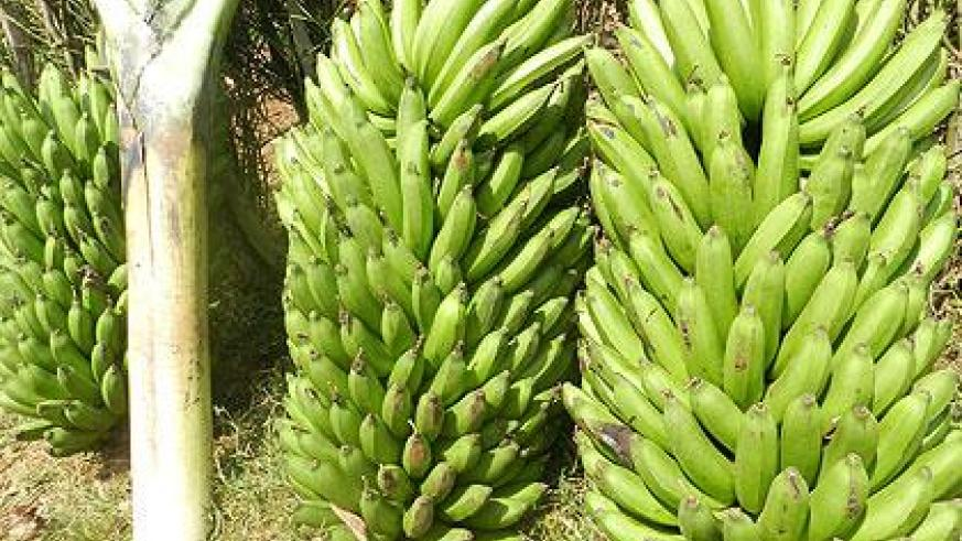 Bananas on sell at cheap prices in Kirehe District. The Sunday Times / S. Rwembeho.