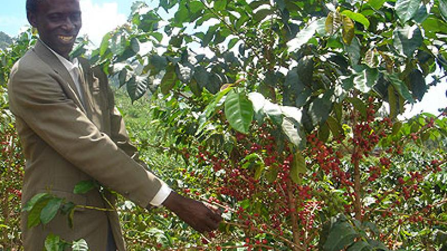 A farmer plucks coffee beans from his garden. Contract Farming will create prosperity among smallholder farmers. The New Times / File.