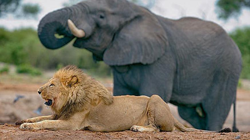 The Lion and the Elephant   The New Times   Rwanda