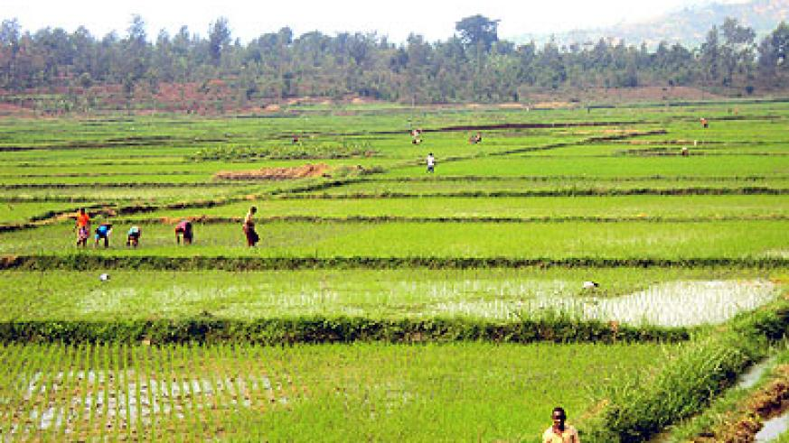 Rice  farmers tend their fields in Kirehe. The New Times/S. Rwembeho.