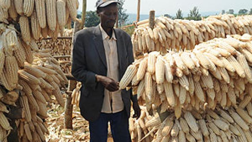 A farmer drying maize on racks. The government has urged the masses to grow crops to promote food security. The New Times/File.