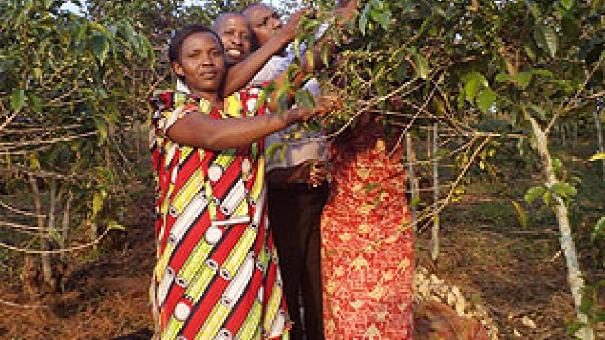 Farmers checking a coffee tree for pre-season harvest. Coffee farmers will have to contend with less earnings after a drop in world crop prices hurt local pricing. The New Times/Courtsey