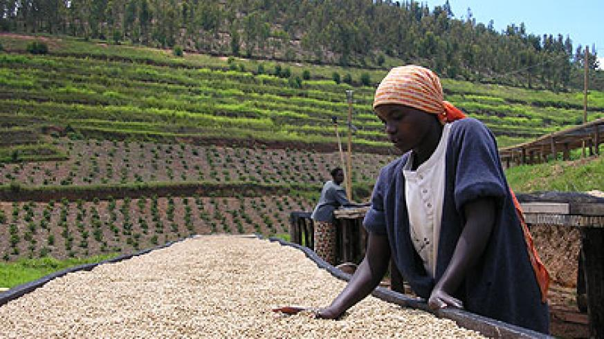 A farmer sorts out coffee beans: An insurance scheme would be a safeguard against price fluctuations. The New Times / File.