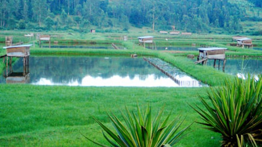 Some of the fish ponds in Rwamagabe district.  The New Times/ File.