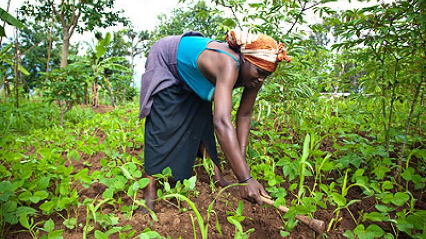 A farmer in Muhanga district weeds her garden.  The New Times/ T. Kisambira.