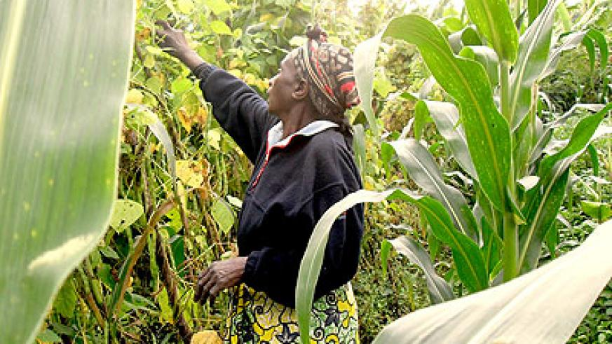 A woman tending her climbing beans. Microfinance institutions are seen as instrumental in transforming the lives of Rwanda's small-holder farmers. Net photo.