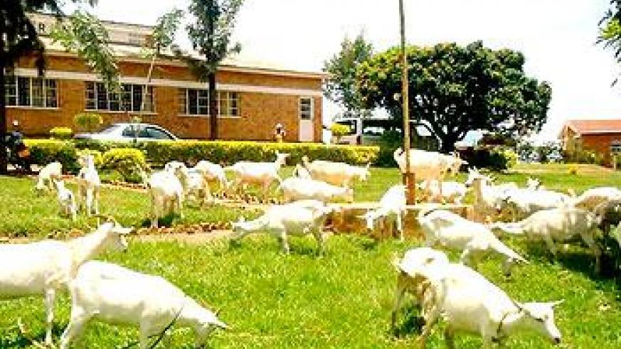Some of the donated goats. Sunday Times/Stephen Rwembeho.