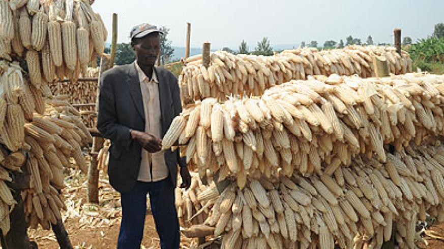 A farmer examines maize cobs. When the crop is not properly dried and stored, it develops toxins that cause diseases in humans.  The New Times/ File