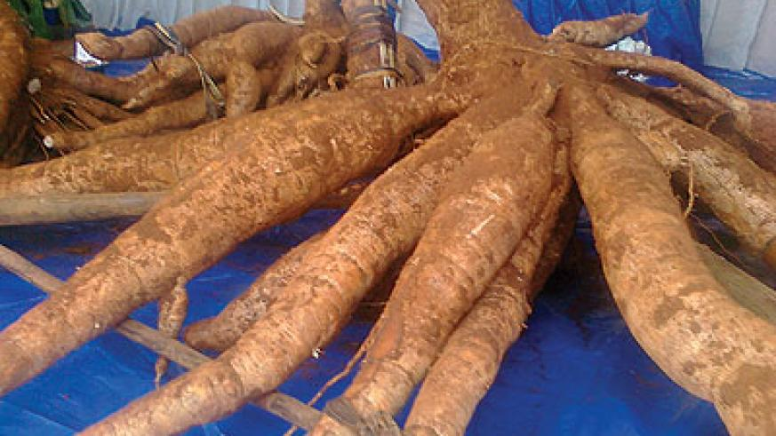 Improved cassava variety, one of the many crops and technologies, that are being displayed at the show at Murindi. The New Times / Peterson Tumwebaze