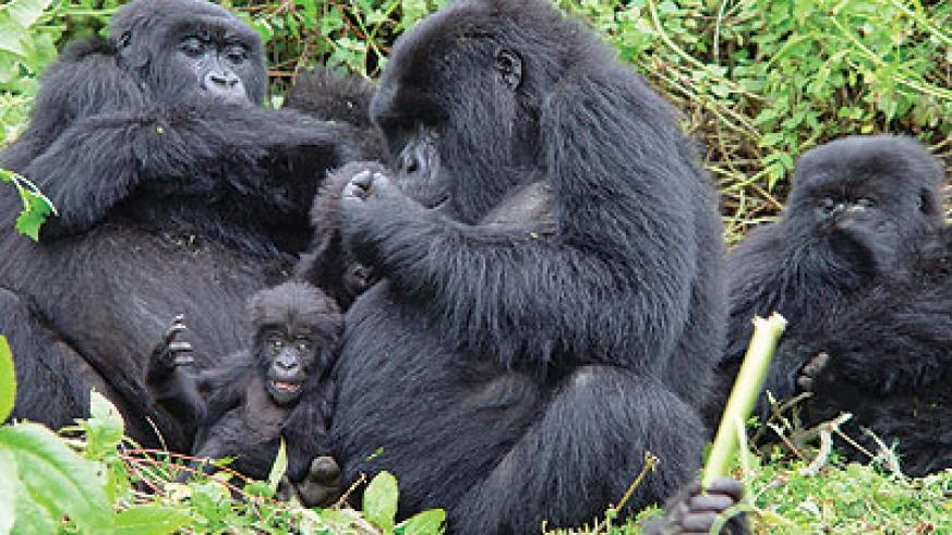 Kenyan tour agents could benefits from marketing Rwanda's mountain gorillas. The New Times/File