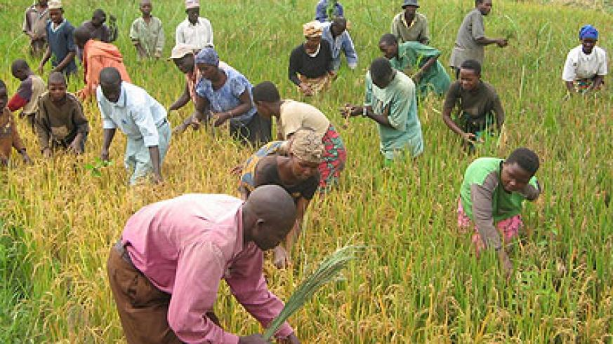 Farmers, like these in a rice paddy in Ngoma District, will buy fertlisers from private companies .  The New Times/File.