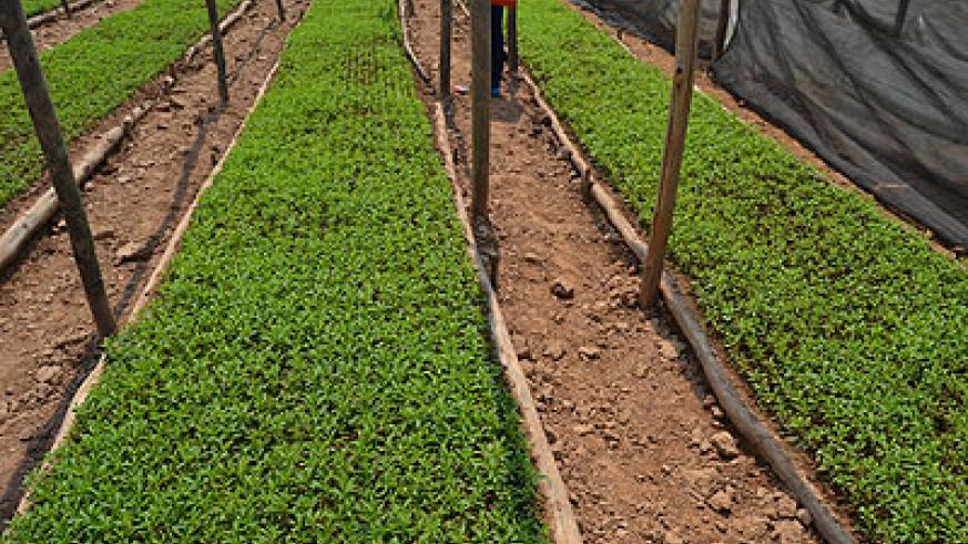 Part of a Stevia plantation in Rulindo District.  Saturday Times / Jean d'Amour Mbonyinshuti