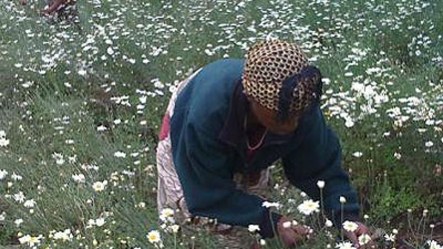 A farmer picking pyrethrum flowers. Some farmers are accusing processing firms of harassment. The New Times / File