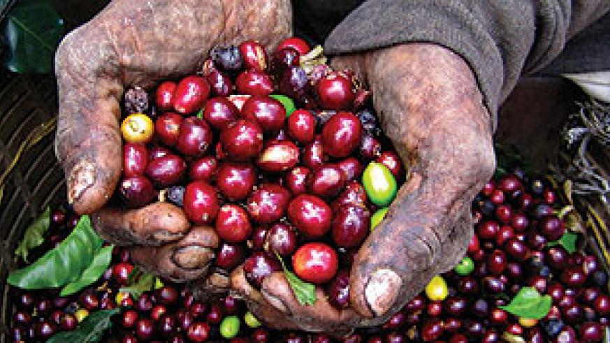 A farmer displays coffee cherries. Top coffees will be recognised this week. The New Times / File photo