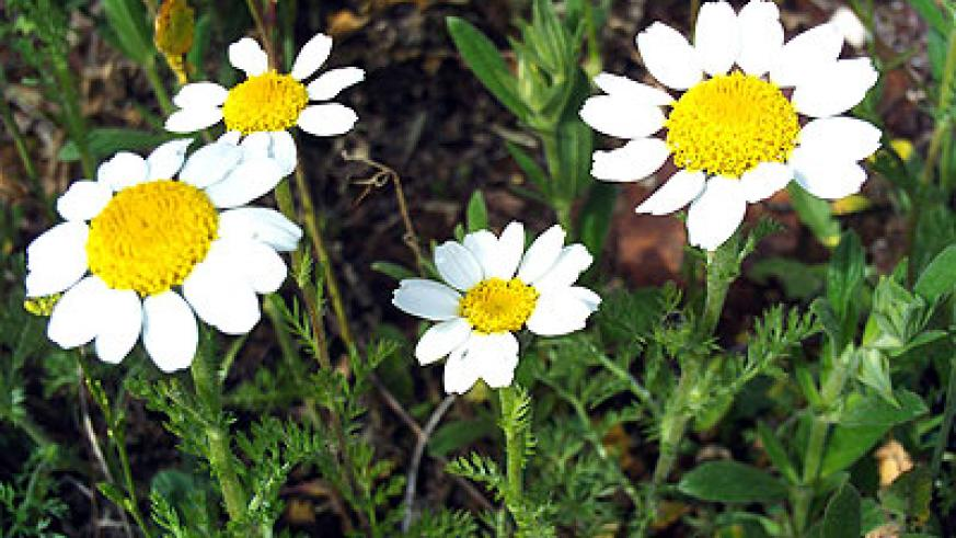 Anacyclus pyrethrum. Net photo.