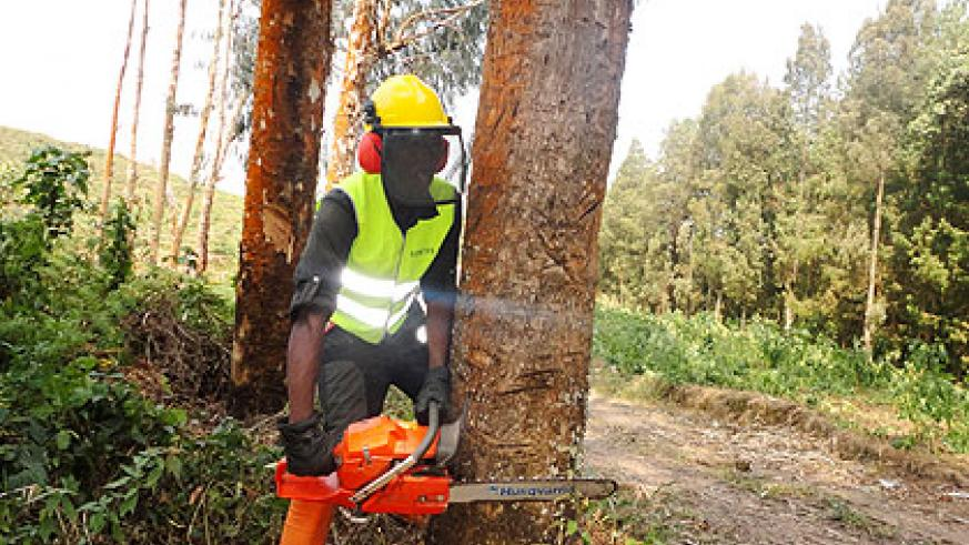 An employee of the New Forests Company demonstrates how trees are harvested. The company will soon rollout activities in Nyungwe buffer forest zone.  The New Times/ Jean Pierre Bucyensenge.