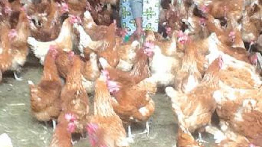 Uwamaliya attends to the chicken at her farm in Gakenke. The New Times / Seraphine Habimana