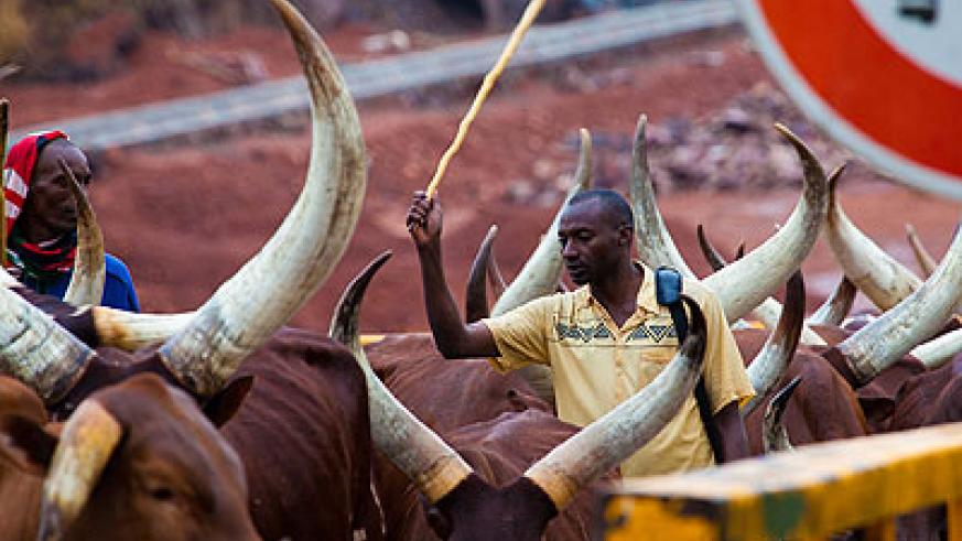 Some of the people evicted from Tanzania arrive at Rusumo border with their cattle last month. The New Times / Timothy Kisambira.