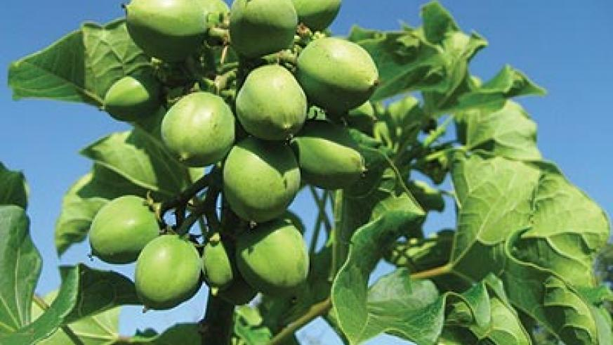 A jatropha tree, one of the trees whose oil seeds are used in making bio-fuels. The New Times / File photo