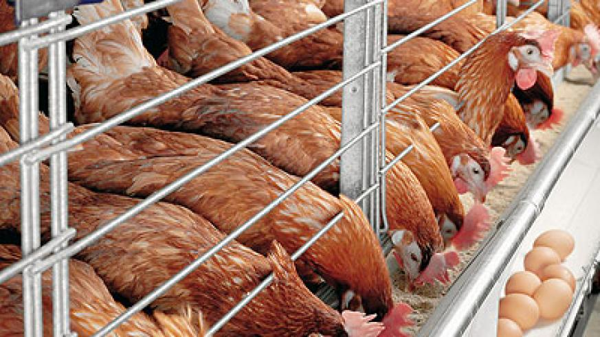 Some of the layers at the co-operative's poultry farm in Nyarugunga. The New Times / Stella Ashiimwe