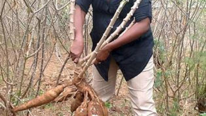 A commercial farmer harvesting cassava. The government is supporting efforts aimed at enhancing agro-output. The New Times / Seraphine Habimana