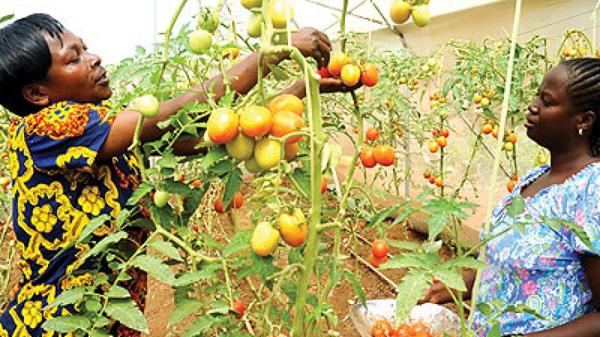 Some of the members of Rwiyemezamirimo Dufatanye Cooperative harvesting tomatoes. The New Times/J. Mbanda