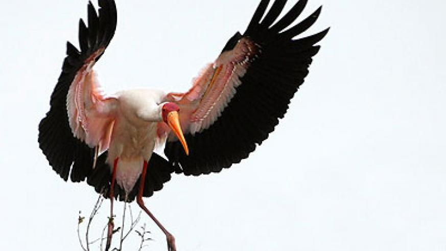 A yellow billed stork is one of the things that made Nyungwe NP shine. Rwanda is every birders' dream with many endemic and rare species. The New Times / Net