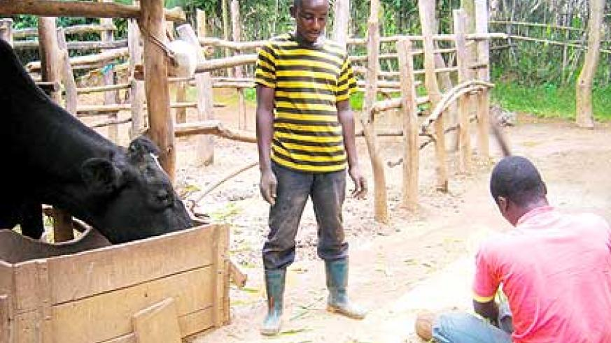 A family beneficiary of the Girinka programme feed their cow. The New Times/ File.