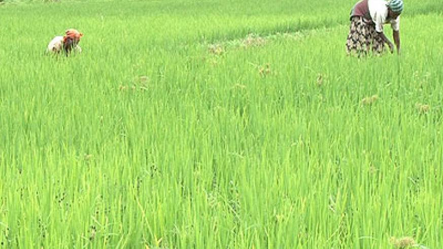Farmers cultivating in a rice field.