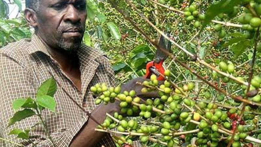 Antoine Kamali working on his coffee farm. Coffee exports did not do well. Sunday Times/Jean d'Amour Mbonyinshuti