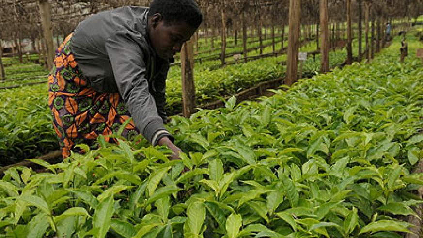 A farmer tends to tea seedlings. NAEB is giving out coffee and tea seedlings in a campaign to enhance production. The New Times / File