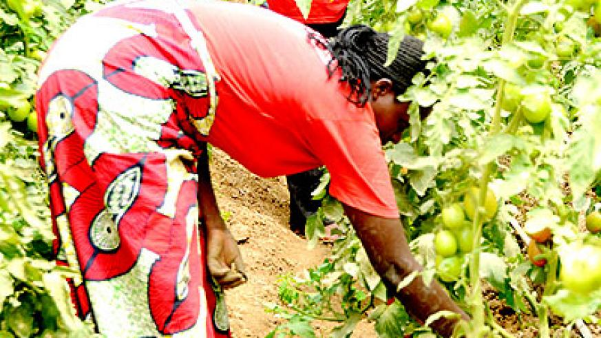 A farmer checks on tomatoes in a green house. Stakeholders in agriculture have called for more efforts in ensuring that farmers produce nutritious foods that would help fight hunge....
