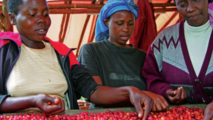 Farmers sort ripe coffee cherries. Earnings from the crop dropped significantly last year due to low international market prices.