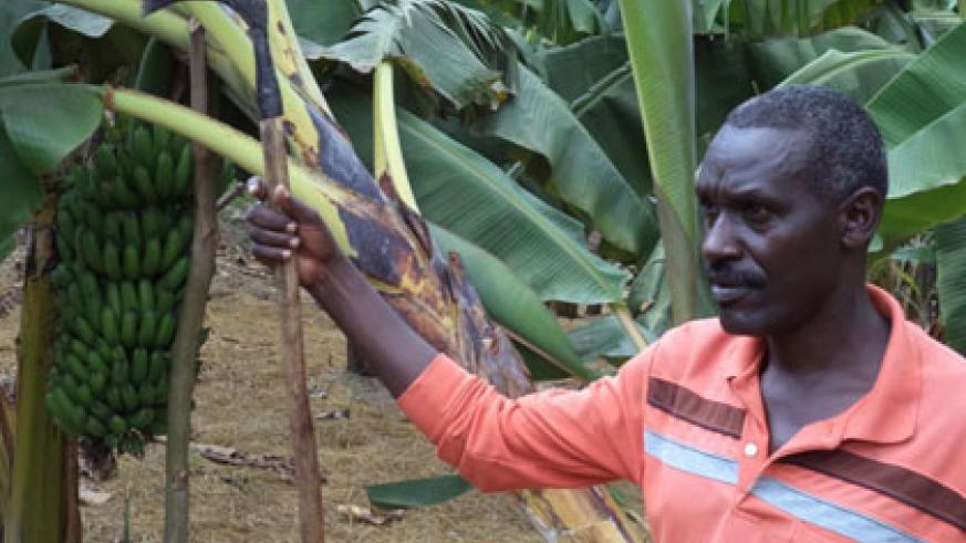 Mutabazi in his banana plantantion. The demobilised soldier is earning a living from farming. JP Bucyensenge.