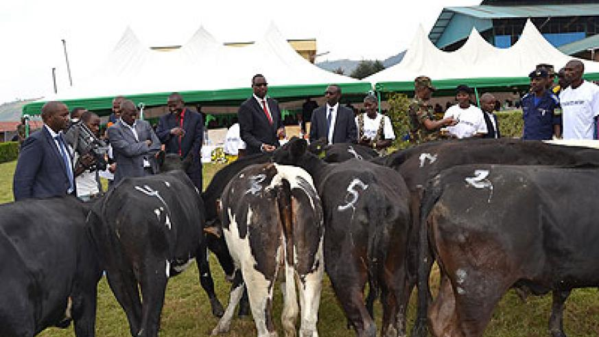 Outstanding farmers receive cows in prizes at Rubaya Tea Factory. Jean d'Amour Mbonyinshuti.