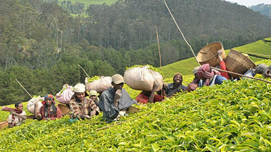 The move by government to privatise Rutsiro tea factory will boost production and competitiveness. J. Mbanda