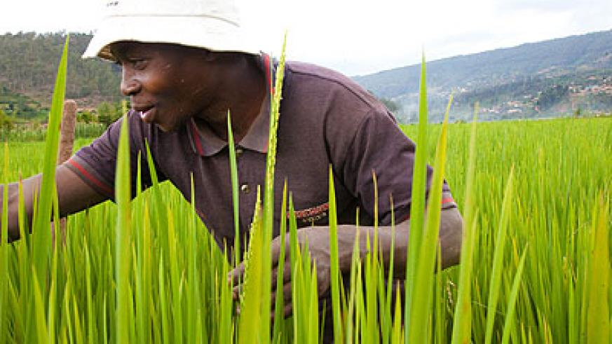 A rice farmer in the Kabuye marshland in Kigali. The continent can do better in agriculture. File.